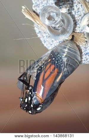 Butterfly Chrysalis Monarch Danaus plexippus Emergent Sequence Image Number 4 of 6