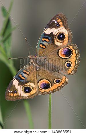 Butterfly Common Buckeye Top Down View Junonia coenia Hübner