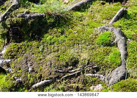 Green moss in forest close up with roots of the tree.