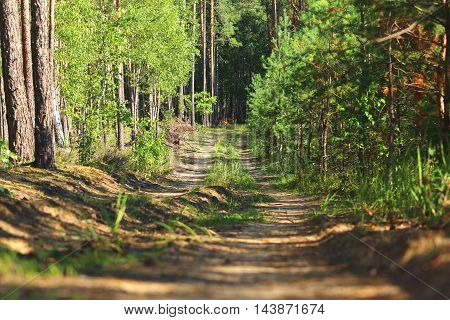 The narrow forest road along the glade in the pine forest