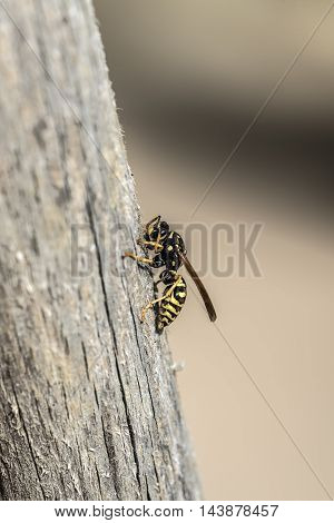 wasp on a wooden piece outdoor macro closeup