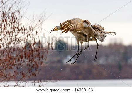 A Sandhill Cranes coming in for a landing.