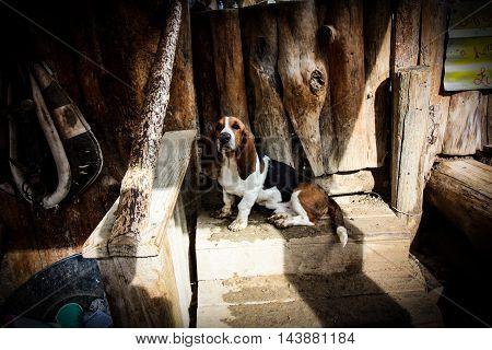 dog at the horse stables, hound dog, basset hound, dog