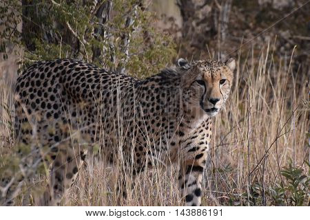 Picture of a male cheetah in Madikwe reserve in South Africa.