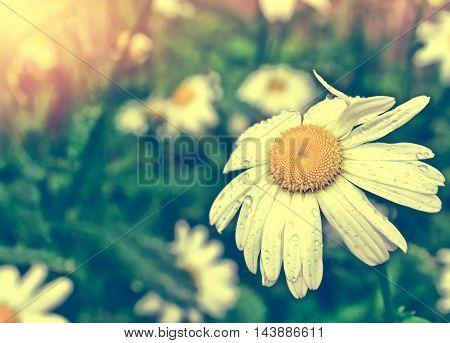 Wildflower daisies. Summer landscape. white chamomile flower