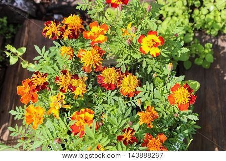 Marigolds with bright petals in the flowerbed