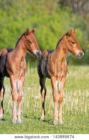 Two chestnut Quarter Horse Foals standing together in meadow in late afternoon sunlight