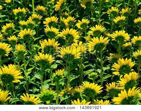 Sunflower (Helianthus) field, in full bloom in mid summer. Rear side.