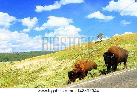 bison along highway near Yellowstone National Park Wyoming