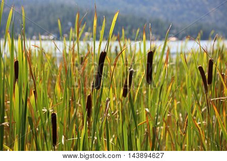 Cattail plant