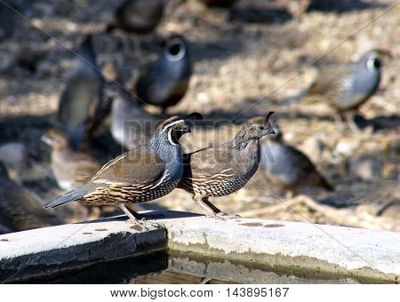 California quail bird pair cock and hen together near water in natural setting with copy space.