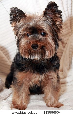 Cute Yorkie sitting on a white towel