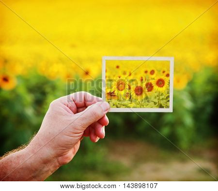 Hand holding a picture of sunflowers on a sunflower field background
