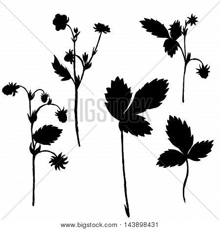 Vector silhouettes of wild strawberry flowers and leaves , isolated wild plants, black monochrome floral elements