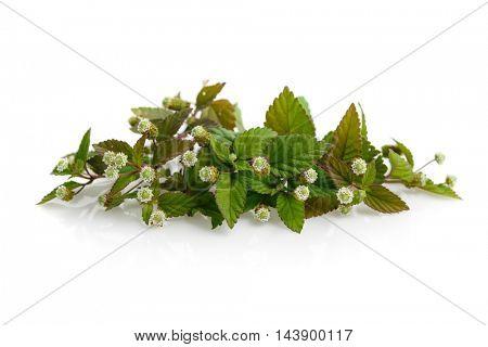 Flowering aztec sweet herb (Lippia dulcis)