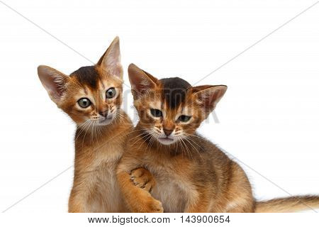 Close-up Two Funny Abyssinian Kitten interesting Looking up, Hanging under the arm not to fall drunk friend on Isolated White Background