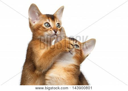 Close-up Two Funny Abyssinian Kitten interesting Looking up, Raising paw to Face like sleep or quiet on Isolated White Background