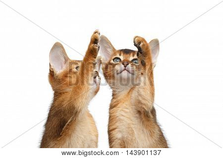 Closeup Two Cute Abyssinian Kitten interesting Looking up, Raising paw on Isolated White Background