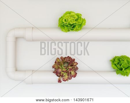 Vegetables hydroponics Red Oak Green Oak in the pipeline a white background closely.