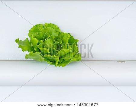 Vegetables hydroponics Green Oak in the pipeline a white background closely.