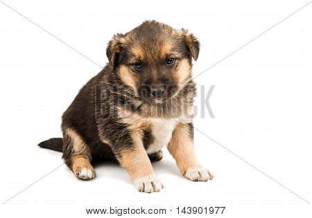 puppy miniature dog isolated on a white background