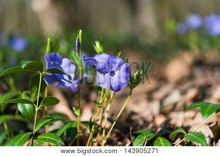 periwinkle  blue flowers blooming in the meadow