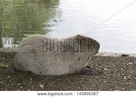 Sleeping capibara laying near the pond and water