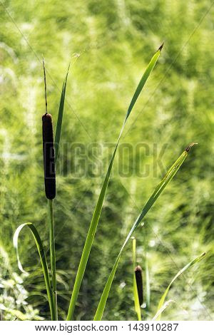 swamp aquatic canes sunny day green fields background closeup