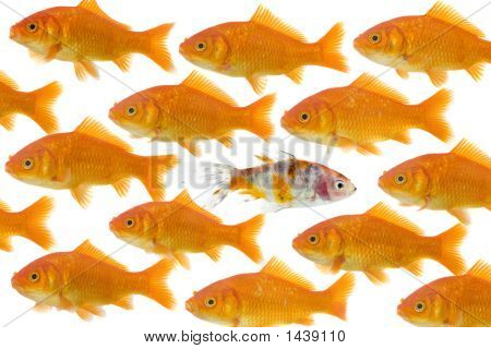 Dare To Be Different : One Goldfish Being Different