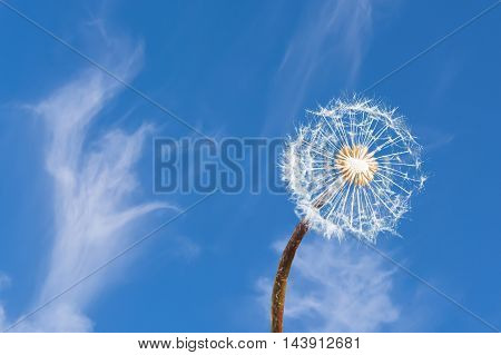 Close up of a dandelion against blue sky.