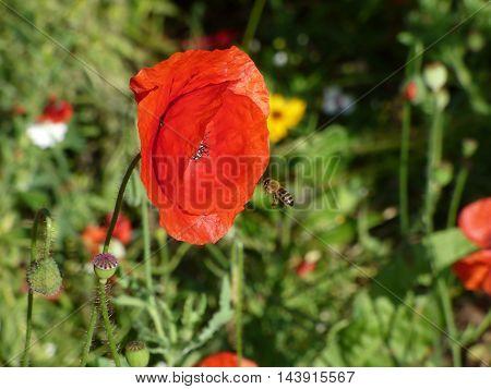 Bee flying around red opium poppy bloom