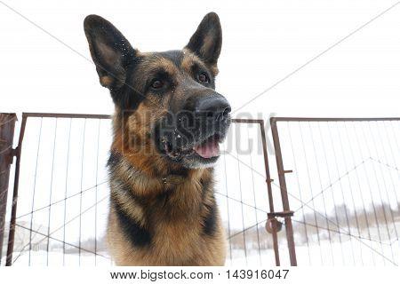 German Shepherd Dog Is Guarding An Important Object In Winter