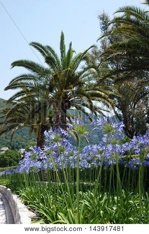 A summer south flower bed with blue agapanthus