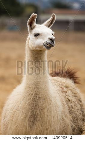 Llama - Lama glama Portrait. The llama (Lama glama) is a domesticated South American camelid, widely used as a meat and pack animal by Andean cultures since the Pre-Columbian era.
