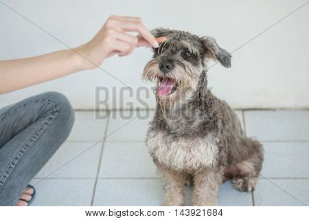 Closeup schnauzer dog looking food stick for dog in woman hand on blurred tiles floor and white cement wall in front of house view textured background