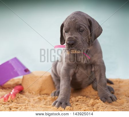 Purebred Great Dane puppy that is a month old on the sand