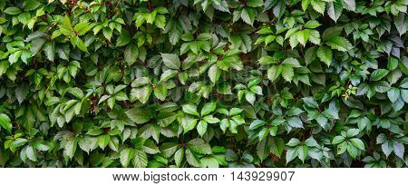 Ivy on a wall. Large banner