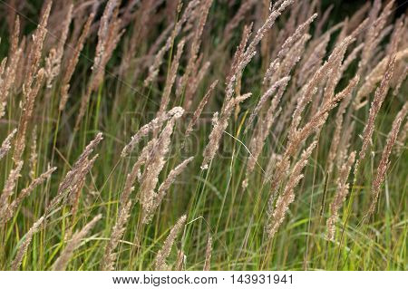 Inflorescence of wood small-reed (Calamagrostis epigejos) on a meadow.