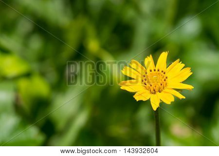 Sphagneticola trilobata Single Flower in The Forest