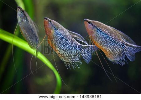 Pearl gourami (Trichopodus leerii), also known as the mosaic gourami. Wildlife animal.