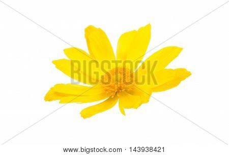 yellow flower daisy on a white background