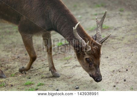 Visayan spotted deer (Cervus alfredi), also known as the Philippine spotted deer or the Prince Alfred's sambar. Wildlife animal.