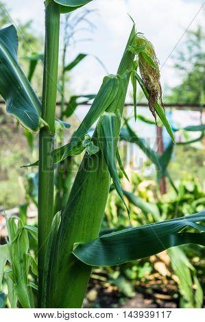 corn growing in a field in summer