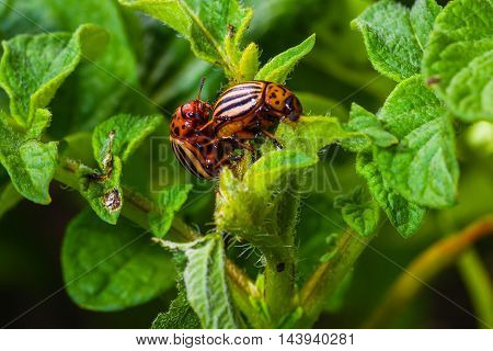 sexual intercourse of the Colorado beetle on the bush of potatoe
