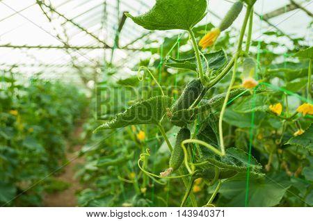 Organic Greenhouse Full Of Cucumber Plants