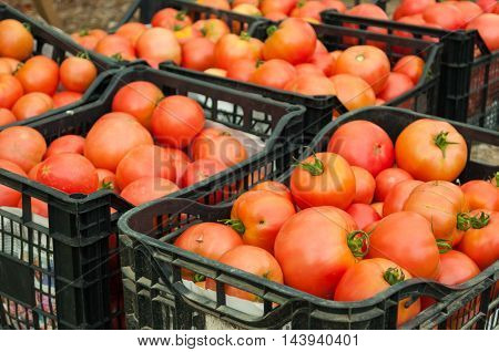 Bunch Of Organic Tomatoes Crates Freshly Harvested