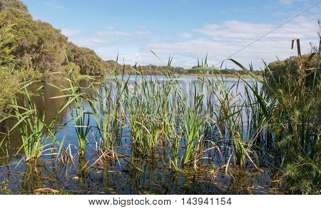 Lush green plants, reed and grasses in the freshwater wetland under a blue sky with clouds at Herdsman Lake in Western Australia.