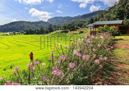 Green Terraced Rice Field in Mae Klang Luang Mae Chaem Chiang Mai Thailandtravel outdoor hill cultivation grain thailand grow agriculture tropical green view organic culture growing valley terraced crop indonesia grass farm east mai asia plantation farmin