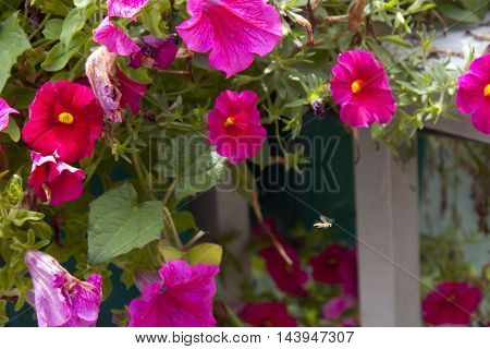 wasp flying between pink petunias in spring