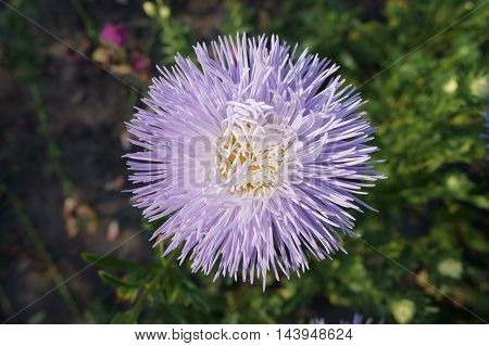 Aster callistephus needle young white-violet flower .